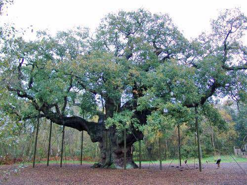 Robin Hood Major Oak Sherwood Forest Bus Tours