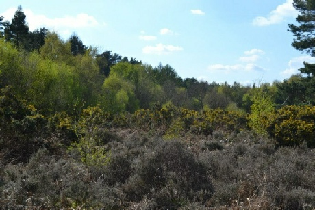 Ancient Lings, Budby South Forest - Archaeology in Sherwood Forest