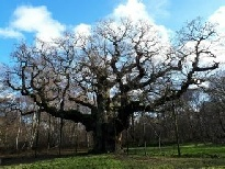 The Major Oak in Sherwood Forest